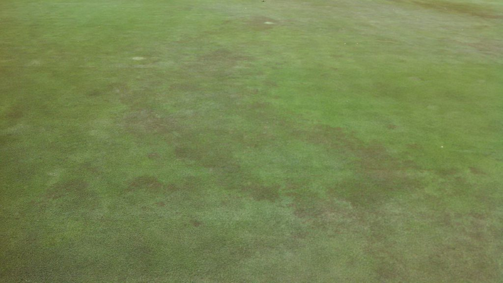 Pythium blight on an ultradwarf bermudagrass putting green