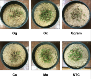 Cover photo for Take-All Root Rot: A Complex Disease