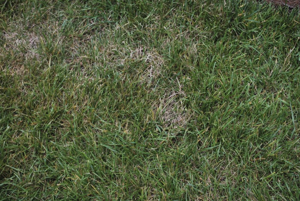 Plant symptoms of Ascochyta leaf blight in tall fescue