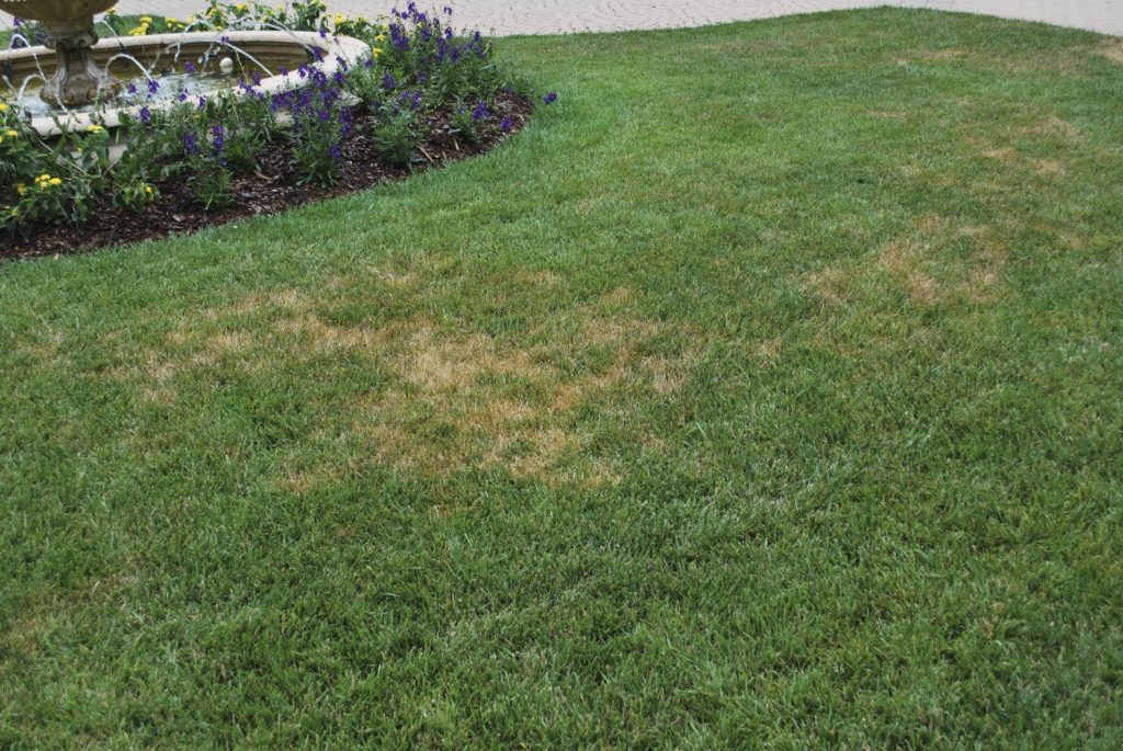 Stand symptoms of Ascochyta leaf blight in tall fescue