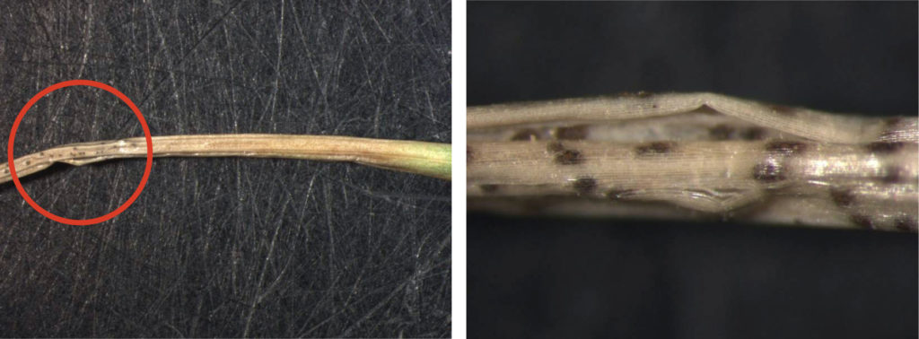 Signs of Ascochyta leaf blight include pycnidia (fruiting bodies) that contain conidia (spores) along the blighted blade