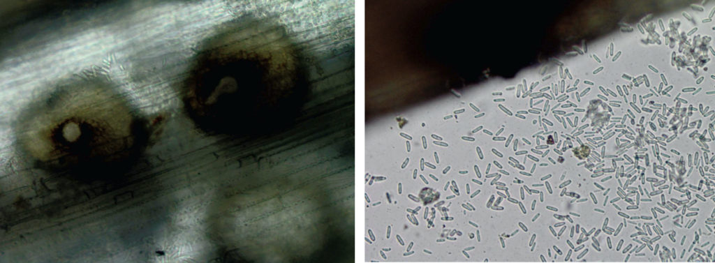 Pycnidia (left) and conidia (right) of Ascochyta leaf blight on tall fescue.