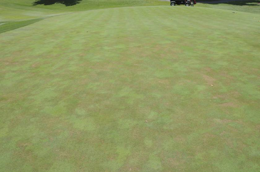Stand symptoms of Pythium root rot