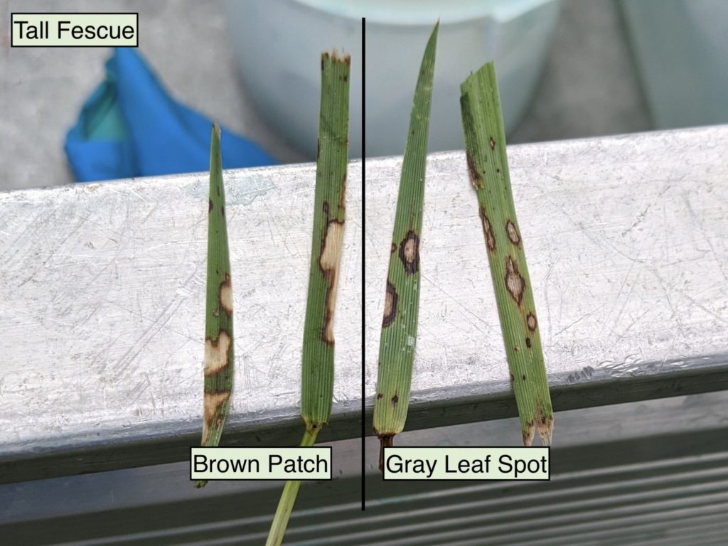 Brown patch lesions vs. gray leaf spot